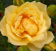 yellow rose by Gracie Borgnet
