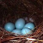 Eastern Bluebird Nest by Penny Odom