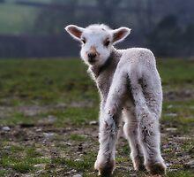 Spring Lamb by Julian MacDonald