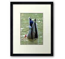 Bottom's Up Dabbling Duck Framed Print