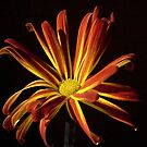 Night Chrysanthemum by David DeWitt
