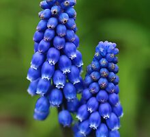 Blue Muscari Flowers by rumisw