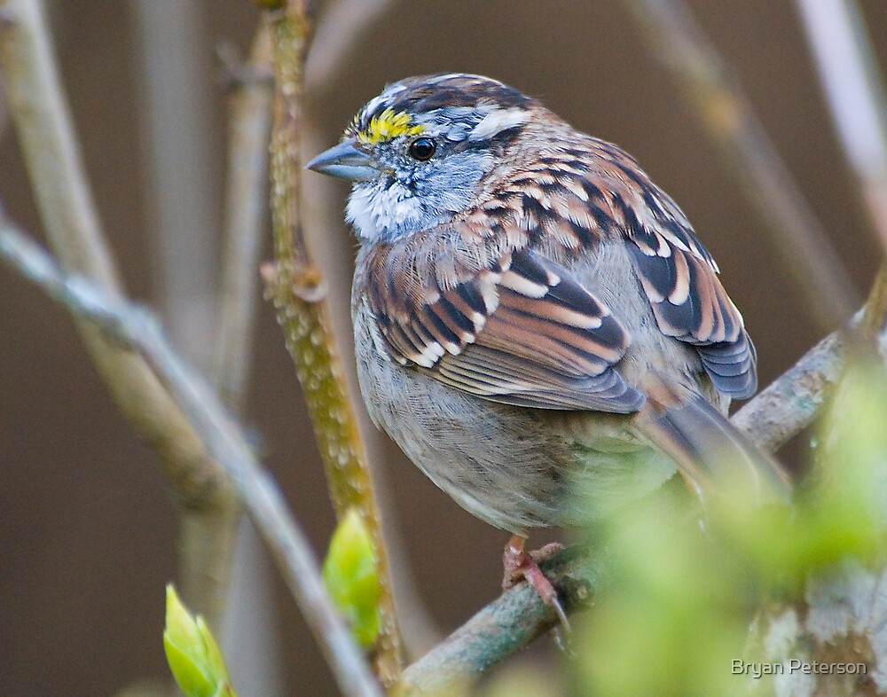 White-Throated Sparrow by Bryan Peterson