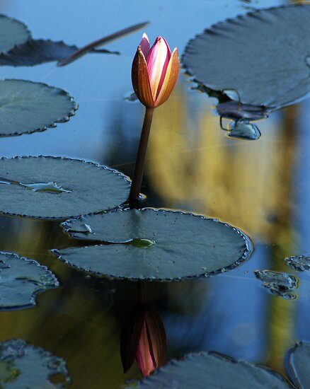 Pink Diva - waterlilly by Jenny Dean