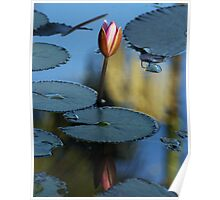 Pink Diva - waterlilly Poster