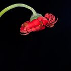 Red Gerbera's Loss by Michael Fotheringham Portraits