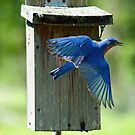 Eastern Bluebird Flight by Bonnie T.  Barry