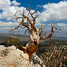 Dead Bristlecone by Tamas Bakos