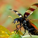 *CEROCTIS CAPENSIS* - IN ALL MY GLORY....HERE I COME! THE SPOTTED  BLISTER BEATLE! by Magriet Meintjes