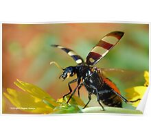 *CEROCTIS CAPENSIS* - IN ALL MY GLORY....HERE I COME! THE SPOTTED  BLISTER BEATLE! Poster