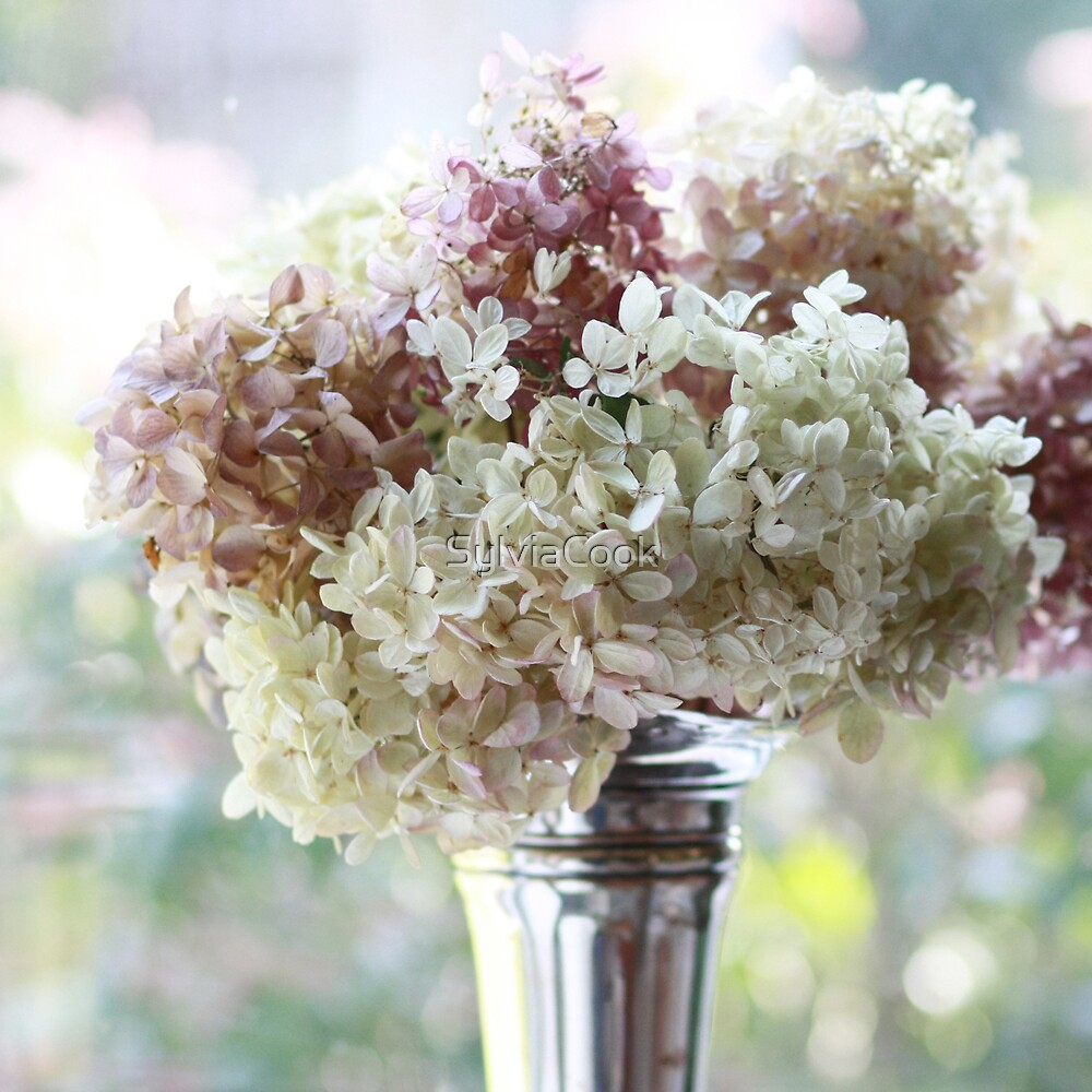 Fabulous hydrangeas by SylviaCook
