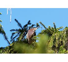 Proud Mama of Five baby Green Herons Photographic Print
