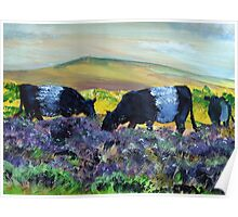 Belted Galloway Cows on Dartmoor Poster