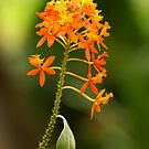 Crucifix Orchid by Crin