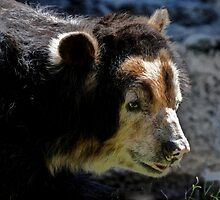 Andean Bear by Savannah Gibbs