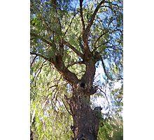 A beautiful Peppercorn tree Photographic Print