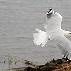 Seagull in Flight by Frank Donnoli