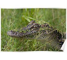 Juvenile Alligator Poster