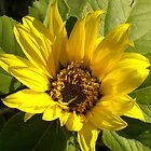 Sunflower by Shenelle