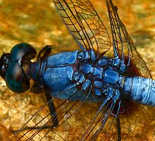 Dragonfly by adng