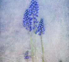 Muscari by lucyliu