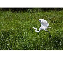 Great White Egret Photographic Print