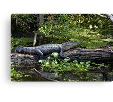 Sunbathing Alligator Canvas Print