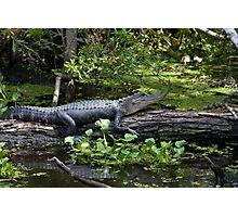 Sunbathing Alligator Photographic Print
