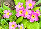 Springtime's Here Primroses by DonDavisUK