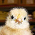 White Leghorn chick by mstinak