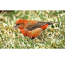 Red Crossbill Photographic Print