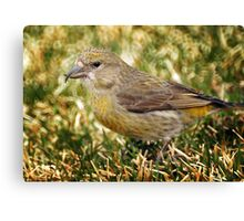 Female Red Crossbill Canvas Print