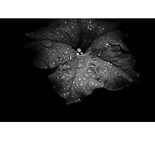 Midnight Velvet..... Photographic Print
