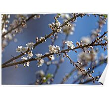 Plum blossom in the sky spring confirmation Poster