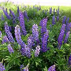 Jefferson Lupine by Wayne King