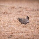 Prairie Chicken 3-2015 by Thomas Young