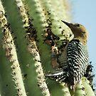 Gila Woodpecker by RichImage
