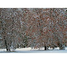 SNOW COVERED OAK TREES Photographic Print