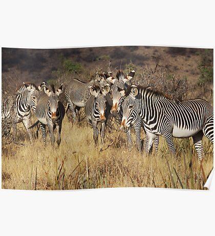 GREVY'S ZEBRAS - KENYA Poster