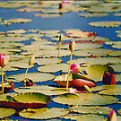 Dawn Lilies by bygeorge