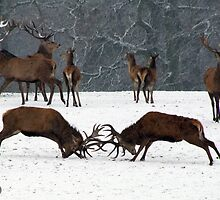 Red Deer Tussle by RicheRifkind