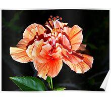 Orangey-peach hibiscus Poster