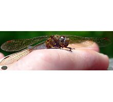 Black-Tailed Skimmer Dragonfly(F) on Fingers Photographic Print