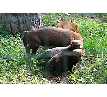 Bush dogs with pups Photographic Print