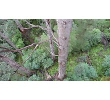 Tingle Forest, Valley of the Giants, Walpole, WA Photographic Print