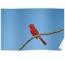 Cardinal against a blue sky Poster