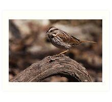 Song Sparrow 1 Art Print