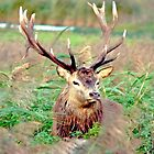RED DEER STAG AT  DE OOSTVAARDERSPLASSEN by Johan  Nijenhuis