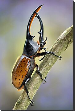 Hercules beetle by jimmy hoffman