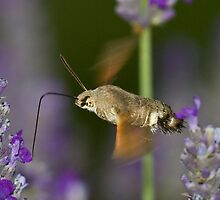 Humming Bird Moth 5 by David Clarke